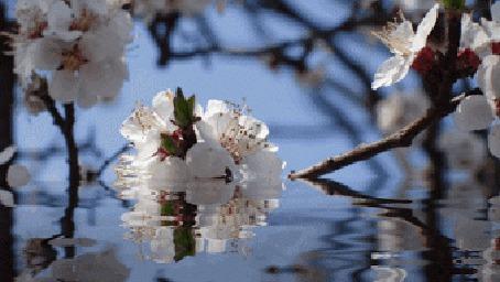 Анимация Весенняя ветка цветов на воде (© zmeiy), добавлено: 12.05.2015 19:29
