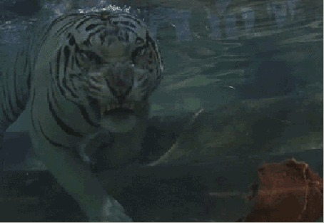 Анимация Белый тигр под водой хватает зубами кусок кровавого мяса