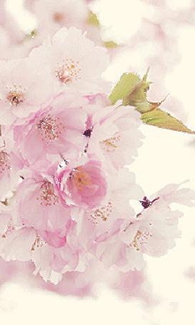 Анимация Веточка сакуры на размытом розовом фоне (© Natalika), добавлено: 14.05.2015 11:31