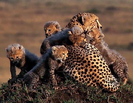 Анимация Детеныши леопарда облизывают свою лежащую маму (© Akela), добавлено: 14.05.2015 15:45