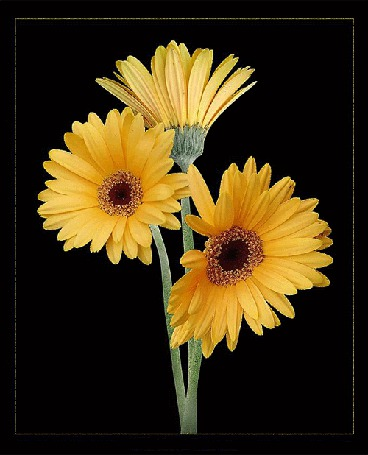 Анимация Желтые герберы на черном фоне (© Akela), добавлено: 15.05.2015 09:08