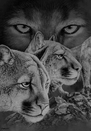 Анимация Моргающий волк и пумы (© zmeiy), добавлено: 15.05.2015 10:00