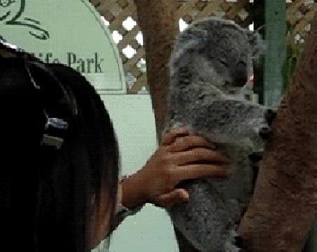 Анимация Девушка щекочет коалу, сидящую на дереве и та шевелит ушами