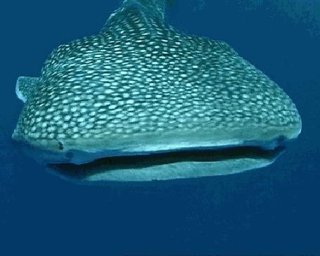 Анимация Китовая акула раскрывает огромную пасть