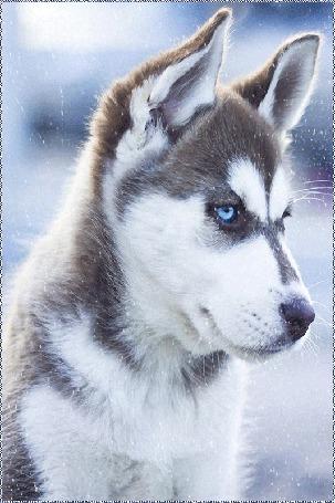 Анимация Пес хаски с голубыми глазами (© Natalika), добавлено: 17.05.2015 12:44