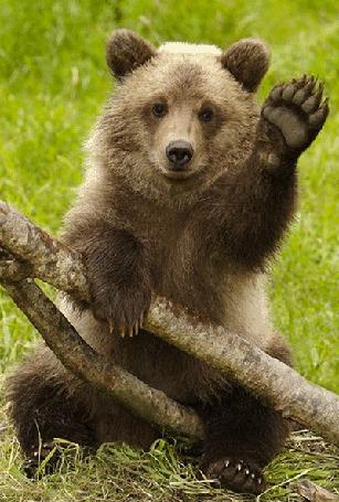 Анимация Бурый медведь приветливо машет лапой (© Akela), добавлено: 18.05.2015 14:10