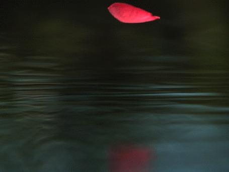 Анимация Красный лепесток цветка падает на воду (© Akela), добавлено: 19.05.2015 12:58