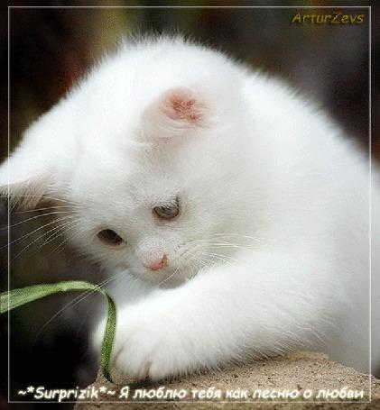 Анимация Белый котенок моргает глазами и левой лапкой прикасается к травинке. Фон блестящий. Внизу надпись: Surprizik ~ Я люблю тебя как песню о любви. Автор Artur Zevs