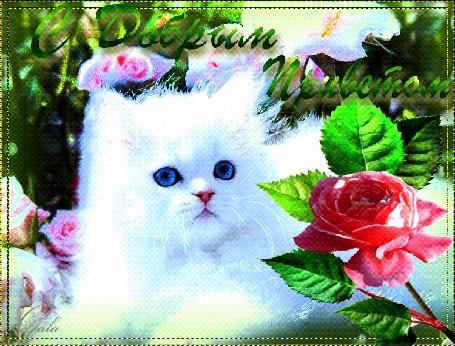 Анимация Белый голубоглазый кот среди прекрасных роз, С Добрым Приветом, Gala