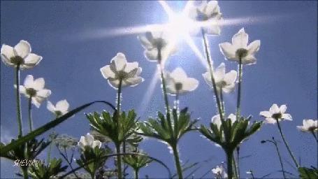 Анимация Белые цветы, тянущиеся к солнышку (© Георгий Тамбовцев), добавлено: 23.05.2015 00:44