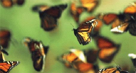 Анимация Бабочки на салатовом фоне (© zmeiy), добавлено: 23.05.2015 20:47