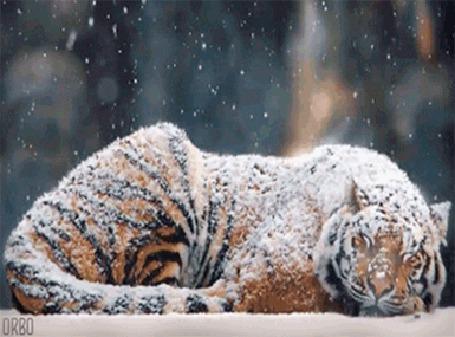 Анимация Тигр спит под снегопадом (© Seona), добавлено: 24.05.2015 00:11