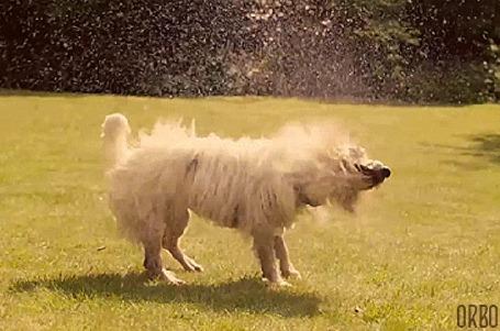 Анимация Собака отряхивается от воды (© Seona), добавлено: 25.05.2015 11:55