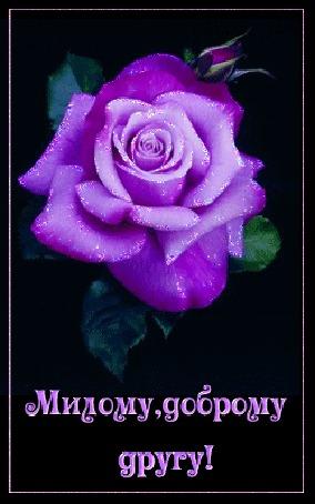 Анимация Сиреневая роза с надписью, Милому, доброму, другу, (© qalina), добавлено: 25.05.2015 16:44