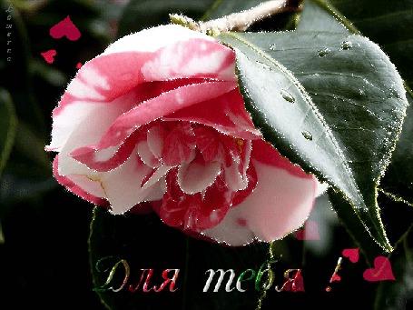Анимация Бело-розовый цветок с каплями росы на листьях на фоне сердечек, Для тебя! Lamerna