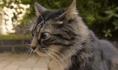 Анимация Кот шевелит ушами и водит глазами (© zmeiy), добавлено: 26.05.2015 20:36