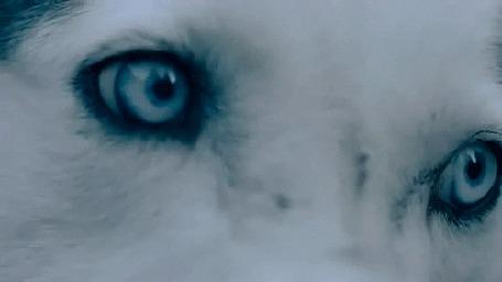 Анимация Глаза белого волка (© 16061984), добавлено: 30.05.2015 00:42