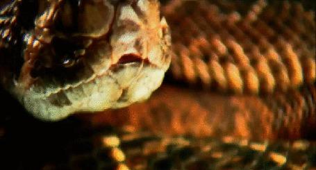 Анимация Большой змей хищно облизывается, глядя по сторнам (© Георгий Тамбовцев), добавлено: 30.05.2015 01:20