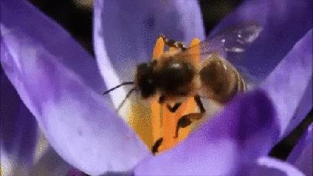 Анимация Пчелка на цветке шафрана собирает нектар