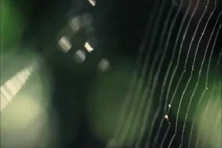 Анимация Паучок-крестовик на паутине, в лучах утреннего солнышка (© Георгий Тамбовцев), добавлено: 31.05.2015 04:39