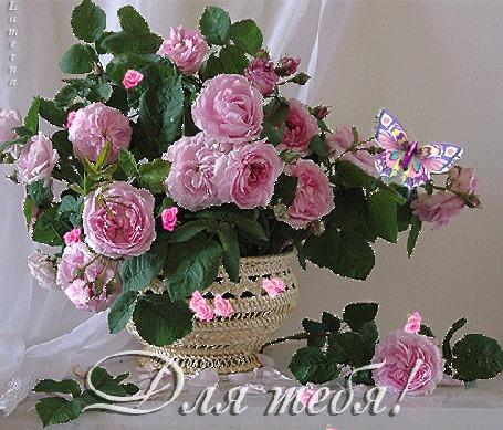 Анимация Шикарный букет розовых роз в плетеной вазе, с бабочкой на фоне белого тюля (Для тебя!) Lamerna