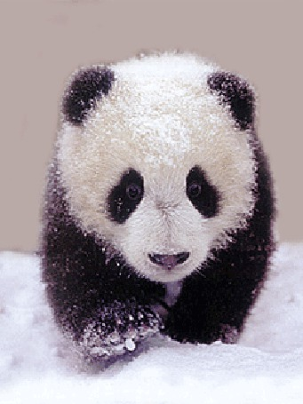 Анимация Бегущая по снегу панда (© Akela), добавлено: 01.06.2015 03:46