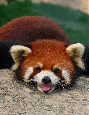 Анимация Красная панда положила голову на камень, высунула язык и моргает глазами
