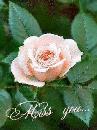 Анимация Розовая роза на ветке с листьями (Miss you.)