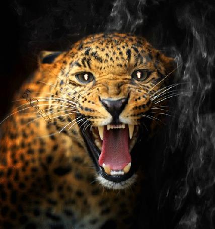 Анимация Морда рычащего леопарда, с горящими глазами, на фоне дыма (© Bezchyfstv), добавлено: 01.06.2015 21:26
