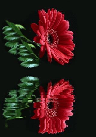 Анимация Цветок красного гербера отражается в воде (© Svetlana), добавлено: 02.06.2015 04:59