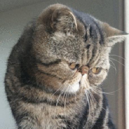 Анимация Породистый дымчатый кот (© zlaya), добавлено: 05.06.2015 20:18