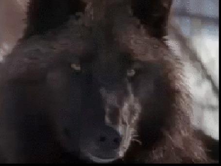 Анимация Старый вожак с интересом наблюдает за играми молодых волков (© Георгий Тамбовцев), добавлено: 06.06.2015 14:02