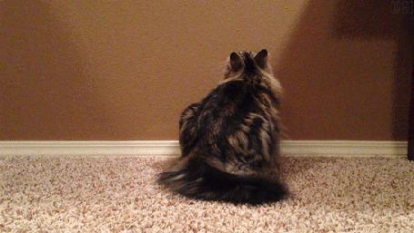 Анимация Кошка смотрит на стену, махая хвостом (© Seona), добавлено: 06.06.2015 14:14