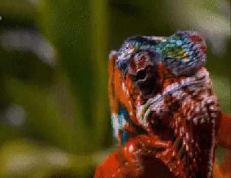 Анимация Хамелеон высматривает добычу своими зоркими, независимо вращающимися на 180 градусов глазами
