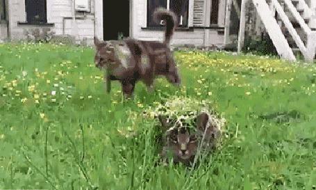 Анимация Кот умело замаскировался в траве (© Anatol), добавлено: 09.06.2015 16:55
