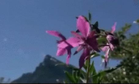 Анимация Широколистный кипрей. Национальный цветок Гренландии, на размытом фоне гор (© Георгий Тамбовцев), добавлено: 09.06.2015 18:09