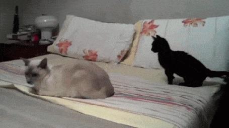 Анимация Коты дерутся на диване (© Anatol), добавлено: 10.06.2015 16:43