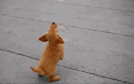Анимация Щенок золотистого ретривера играет с мыльными пузырями (© Seona), добавлено: 23.06.2015 12:31