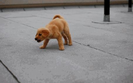 Анимация Играющий щенок золотистого ретривера (© Seona), добавлено: 23.06.2015 12:32