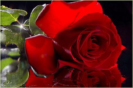 Анимация Красная роза лежит в воде