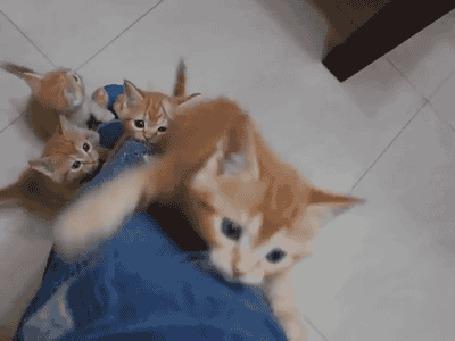 Анимация Рыжие котята пытаются заползти вверх по ноге в джинсах