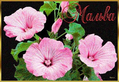 Анимация Цветы розовой мальвы (Мальва), Эрика (© qalina), добавлено: 06.07.2015 17:25