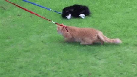 Анимация Прогулка на поводке свободолюбивых котов по зеленой лужайке