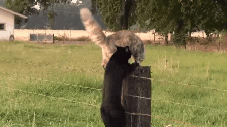 Анимация Два кота борятся за место на столбике ограды, но справедливость восторжествовала и незваный гость был изгнан (© Anatol), добавлено: 11.07.2015 00:25