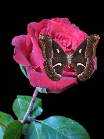 Анимация Бабочка летает над розой (© qalina), добавлено: 11.07.2015 09:02