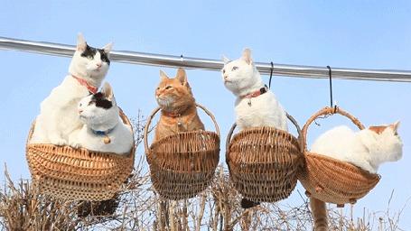 Анимация Кошки сидят в корзинках