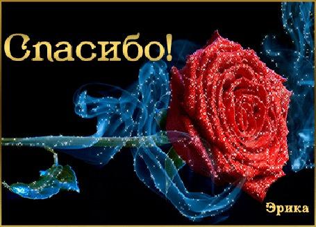 Анимация Красная роза на темном фоне (Спасибо), Эрика