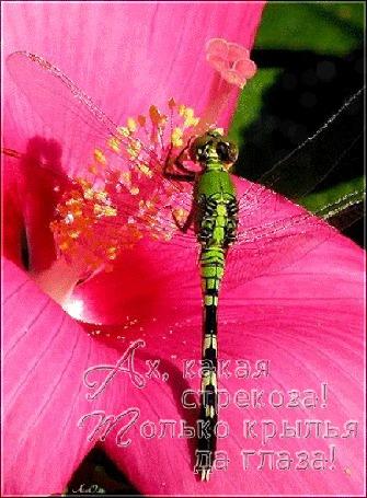 Анимация Зеленая стрекоза на красивом розовом цветке (Ах, какая стрекоза! Только крылья да глаза!) АссОль (© Natalika), добавлено: 18.07.2015 09:45