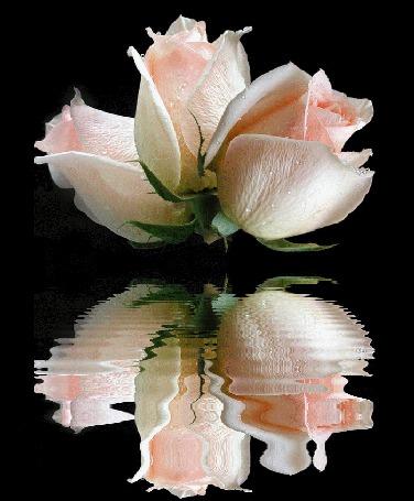 Анимация Три кремовых розы отражаются в воде (© Arinka jini), добавлено: 22.07.2015 11:14