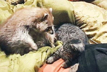 Анимация Добрый енот и кот (© JeremeVoods), добавлено: 26.07.2015 15:41